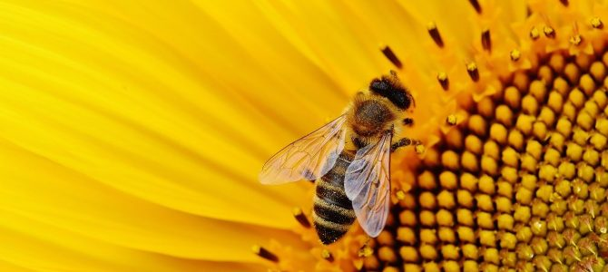 Propolis, made by bees to protect hives, could help lower blood pressure, a new study suggests